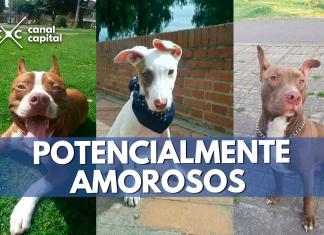 Perros de raza pitbull son recuperados por ciudadano bogotano