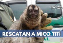 mico tití