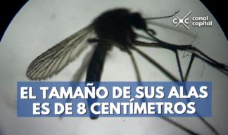mosquito más grande del mundo