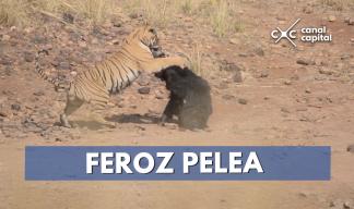 Osa pelea contra tigre para salvar a su cría