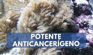 Coral anticancerígena en aguas colombianas
