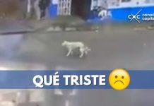 atropelló a un perro