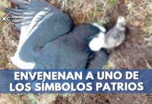 condor envenenado sierra nevada
