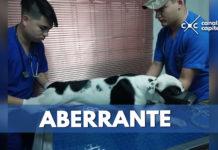 rescatan a pitbull maltratado por su dueño