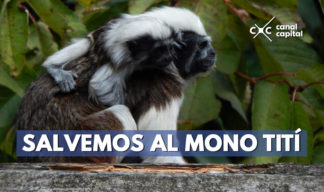Colombia declaró nueva área protegida para preservar al mono Tití