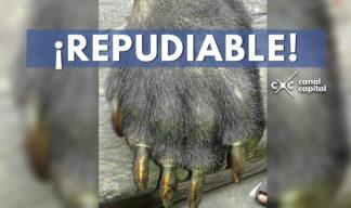 oso de anteojos brutalmente asesinado
