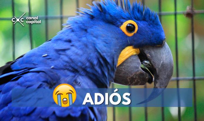 ¡Triste noticia! El guacamayo azul es declarado extinto