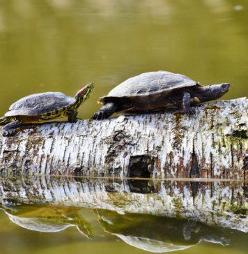 El 61% de las especies de tortugas está amenazado