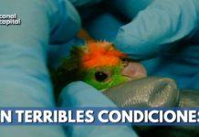 Incautan 19 aves maltratadas