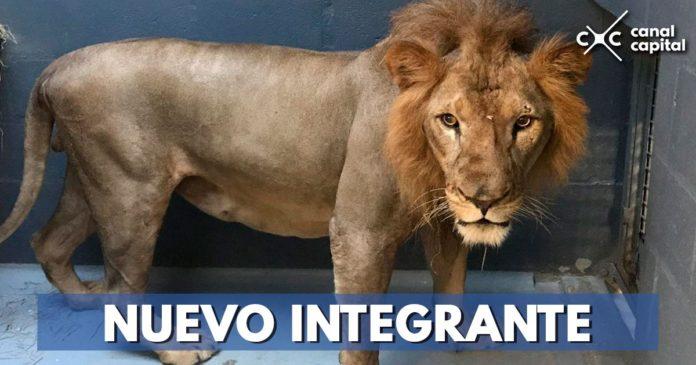 Traslado de león Mufasa
