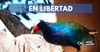 46 tinguas azules volvieron a la libertad luego de ser rehabilitadas