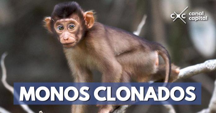 Científicos chinos clonan monos genéticamente modificados