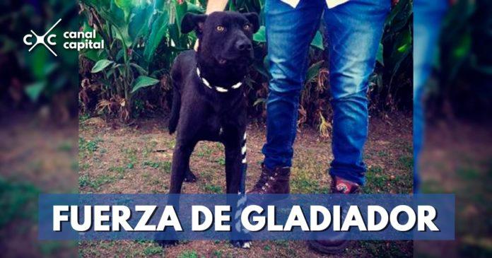 Gladiador, el perro rescatado por protección animal