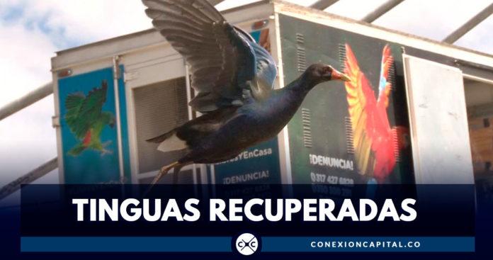 Más de 1.000 tinguas han sido recuperadas en Bogotá