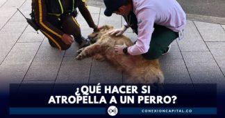 atropellar perro