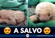a salvo osos perezoso