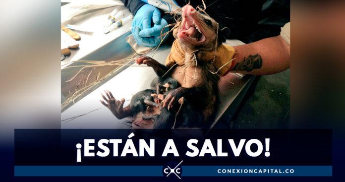 Rescatan zarigüeya en Bogotá
