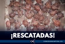 1.359 tortugas bebés fueron rescatadas en el aeropuerto El Dorado