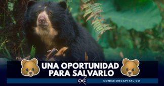 oso de anteojos en suramerica