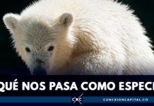 Osa polar recorrió 1.500 kilómetros en búsqueda de alimento