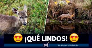 Animales silvestres se dejan ver en las cámaras de Parques Nacionales Naturales