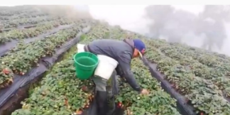 Cultivos de fresas en Sibaté