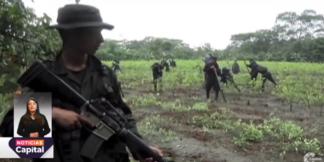 Erradican cultivos de coca.