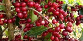 fruto de café.